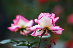 Two pink roses Stock Photos