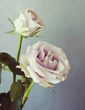 Two pink roses with retro effect Stock Photography
