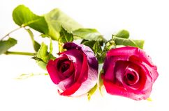 Two pink roses with some green looking at you. A rose is a woody perennial flowering plant of the genus Rosa, in the family Rosaceae, or the flower it bears Stock Photos