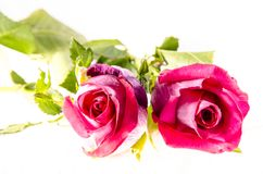 Two pink roses with some green. A rose is a woody perennial flowering plant of the genus Rosa, in the family Rosaceae, or the flower it bears. There are over a Stock Image