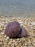 Two pink sea urchin. On the stone beach Stock Photography