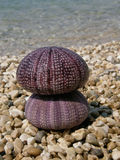 Two pink sea urchin Stock Image