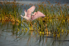 Two pink spoonbills take flight Royalty Free Stock Images