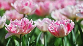 Two pink tender tulips. On blurred background stock video