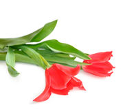 Two pink tulip Stock Image