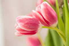 Two Pink Tulips Embracing In a Hug. Two pink Tulips with stems wrapped around to look like a hug Royalty Free Stock Images