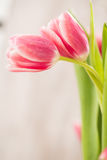 Two Pink Tulips Embracing In Love Hug. Two pink Tulips with stems wrapped around to look like a hug Stock Images