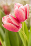 Two Pink Tulips Entwined In Embrace. Two Pink Tulips entwined in a love embrace Royalty Free Stock Photo