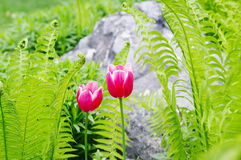Two pink tulips and green fern on gray stone background Stock Photography
