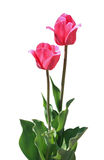 Two pink tulips Royalty Free Stock Image