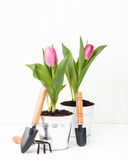 Two Pink Tulips Stock Photos