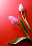 Two pink tulips on red background Royalty Free Stock Images
