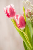 Two Pink Tulips With Stems Wrapped Around Each Other In A Hug. Two pink Tulips with stems wrapped around to look like a hug Royalty Free Stock Photos