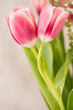 Two Pink Tulips With Stems Wrapped Around Each Other In A Love H. Two pink Tulips with stems wrapped around to look like a hug Stock Photos