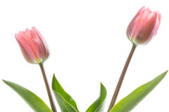 Two pink tulips on white background. Two pink tulips standing on white background stock image