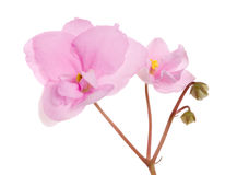 Two pink violets branch Royalty Free Stock Photo