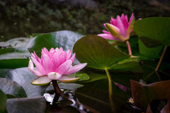 Two pink water lilies in close-up on large green leaves. With their rod Royalty Free Stock Images