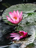 Two Pink water lilies on green leaves in the water.  Stock Photo