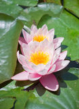 Two pink water lilies Royalty Free Stock Photos
