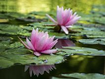 Two pink water lilies `Marliacea Rosea` in a pond on a background of green leaves stock images