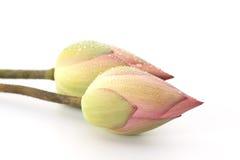 Two Pink water lotus Royalty Free Stock Photos