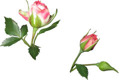 Two  pink and white rose buds Stock Images
