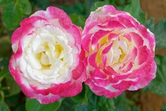 Two pink white rose flowers in the garden royalty free stock photo
