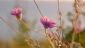 Two pink wild flowers macro stock footage