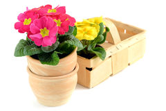 Two pink and yellow primroses (primula) in a basket and terracot Stock Image
