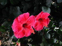 Two Pinkish Hibiscus Royalty Free Stock Photography
