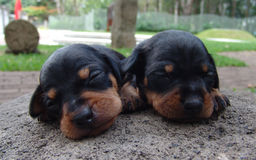Two pinscher puppies. Two four weeks old pure breed miniature pinscher puppies on a rock royalty free stock image