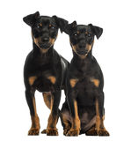 Two Pinscher sitting looking at the camera Royalty Free Stock Images