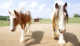 Two Pinto horses walking together Royalty Free Stock Images