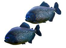 Two piranhas Royalty Free Stock Photo
