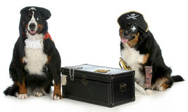 Two pirates. Pirates - two bernese mountain dogs dressed up like pirates with chest full of treasures isolated on white background Stock Image