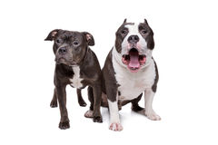 Two pit bull dogs. In front of a white background Royalty Free Stock Images