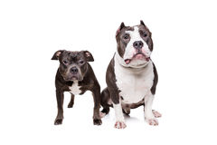 Two pit bull dogs Stock Photos