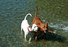 Two Pit Bull Dogs with Stick. Two dogs sharing a stick in the water Royalty Free Stock Photography