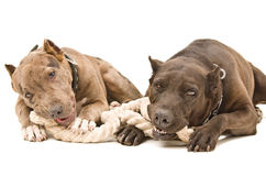 Two pit bull Royalty Free Stock Photography