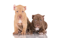 Two pit bull puppies with cropped ears Stock Image