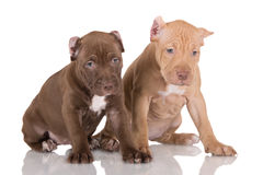 Two pit bull puppies with cropped ears Royalty Free Stock Image