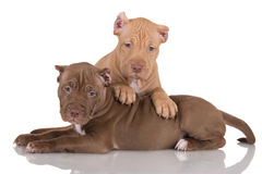 Two pit bull puppies with cropped ears Royalty Free Stock Photos