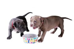Two pit bull puppies near an empty bowl for eating. Isolated on. White background stock image