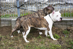 Two Pit Bull Terrier friends Stock Photo