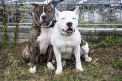 Two Pit Bull Terrier friends Royalty Free Stock Photo