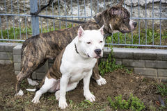 Two Pit Bull Terrier friends Royalty Free Stock Photography