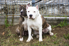 Two Pit Bull Terrier friends Stock Photography