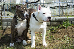 Two Pit Bull Terrier friends Royalty Free Stock Photos