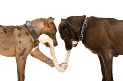 Two pitbulls  gnaw rope. Standing isolated on white background Stock Photos