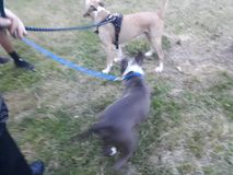 Two pitties playing in the park royalty free stock photography